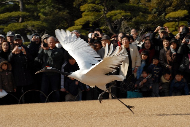 丹頂の放鳥6
