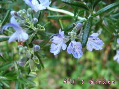 Rosmarinus officinalis2
