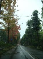 広坂のアメリカ楓