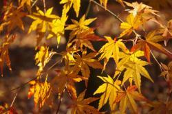 黄色い紅葉 12月昭和記念公園