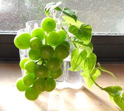 青い葡萄の実