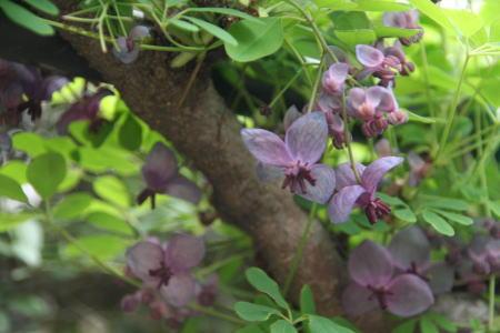 190402・アケビの花1
