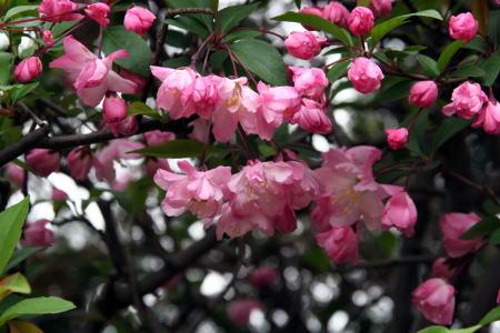 190402・海棠の花1