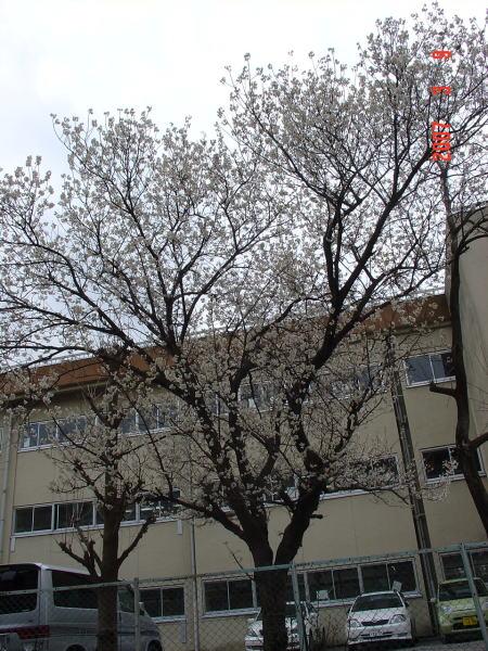 篠篭田の桜1