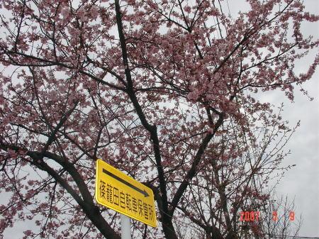 篠篭田の桜2