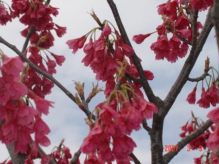 水辺公園の緋寒桜2