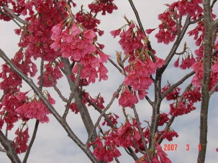 水辺公園の緋寒桜1