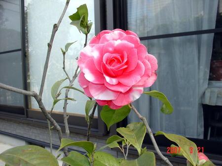 190321・唐椿バレンタインの開花