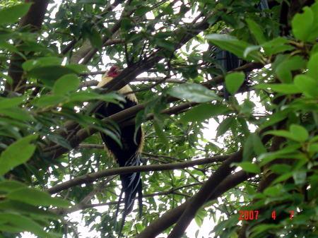 樹上のチャボ