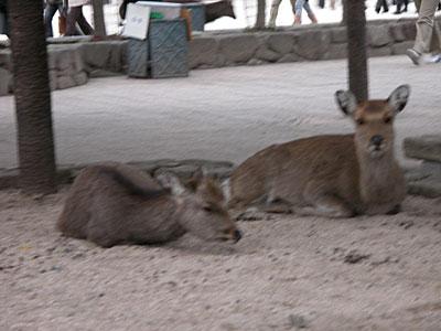 おとなしそうに見える鹿達
