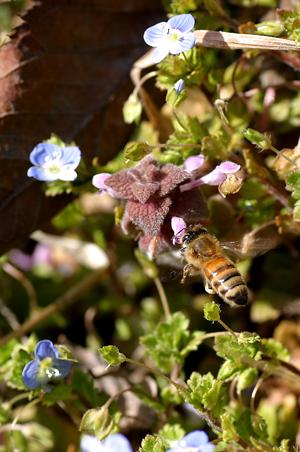 春の花に蜜蜂-1