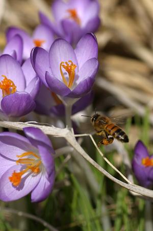 春の花に蜜蜂-4