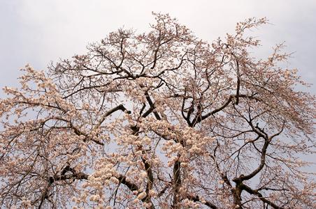 下部の桜-1