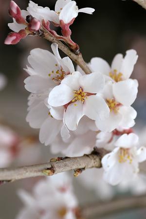 下部の桜-2