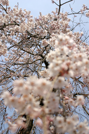 下部の桜-3