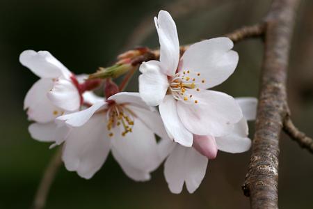 下部の桜-4