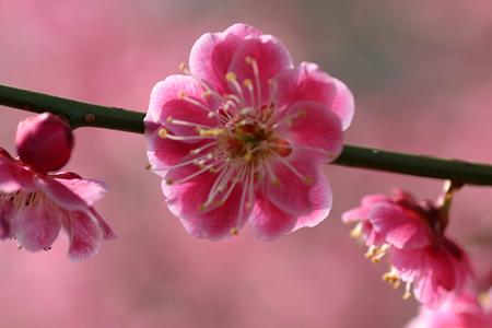 撮りためた梅の花の写真4