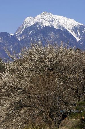 撮りためた梅の花の写真1