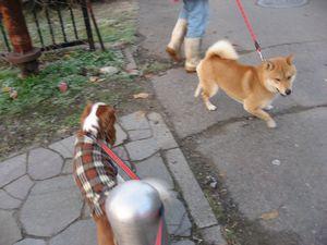IMG_3943柴犬