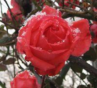 IMG_4081薔薇