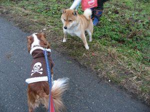 IMG_4183柴犬