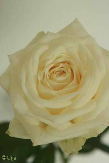whiterose01