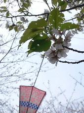 桜祭り開催中