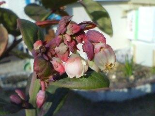 ブルーベリー【12月花】