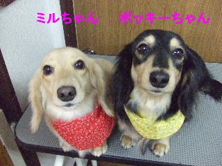 2007_1126ミルちゃんポッキーちゃん