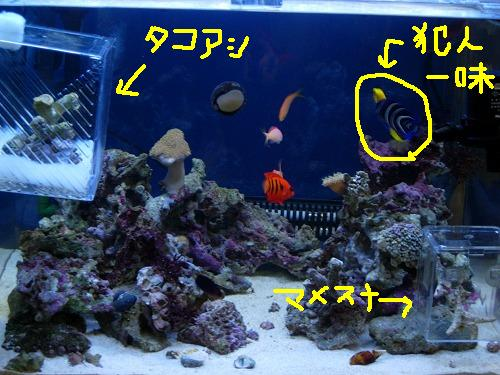 サンゴ避難