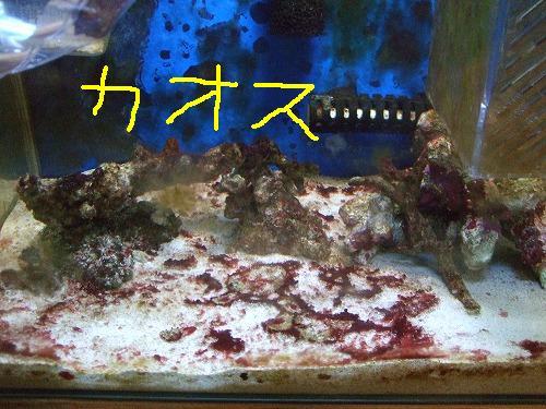 石灰藻繁殖