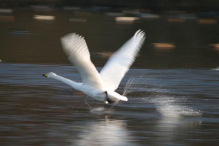 羽田沼の白鳥5