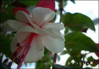 ハピカメ お花