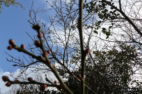 青空に梅の木