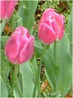 tulip_yokohama5.jpg