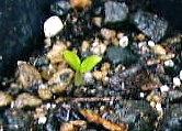 デルフィニウムの芽