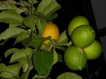 自宅レモン
