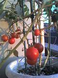 GardenTomato