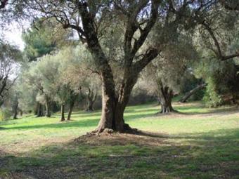 ル・コレット オリーブの樹
