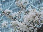 会社のビルと桜