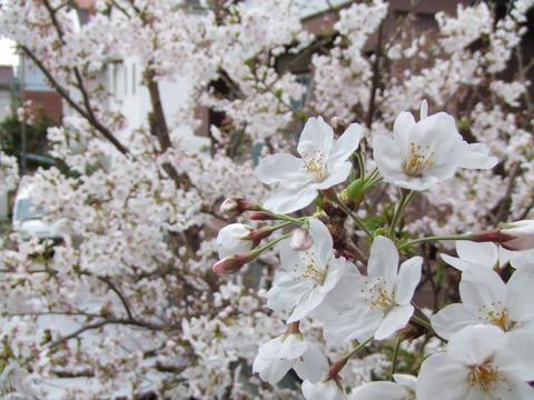 ベランダから見える桜
