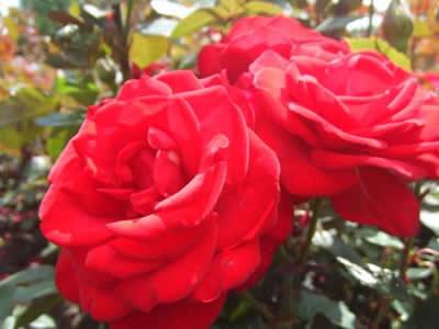 リージェンツ・パークのバラ
