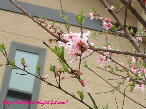 実家の桃の花