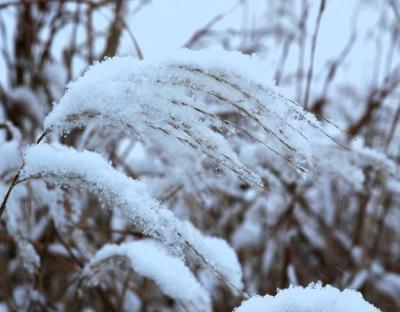 冬景色ススキ