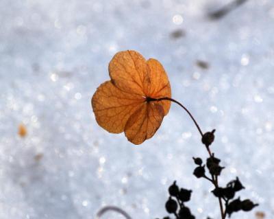 ノリウツギの枯れた装飾花