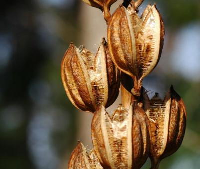 オオウバユリの種