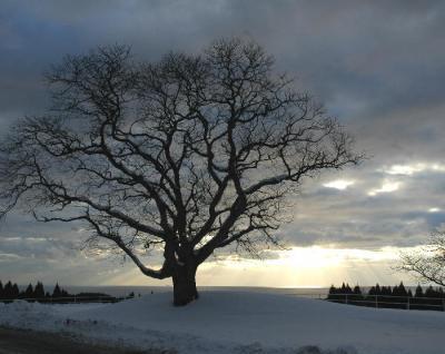 トラピストの木