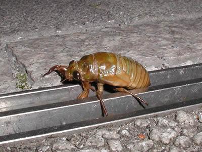 歩いているセミの蛹