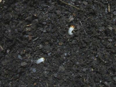 新しいマットにどんどん潜っていく幼虫たち<br />