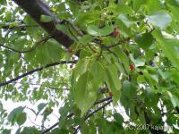 桜の木とサクランボウ?